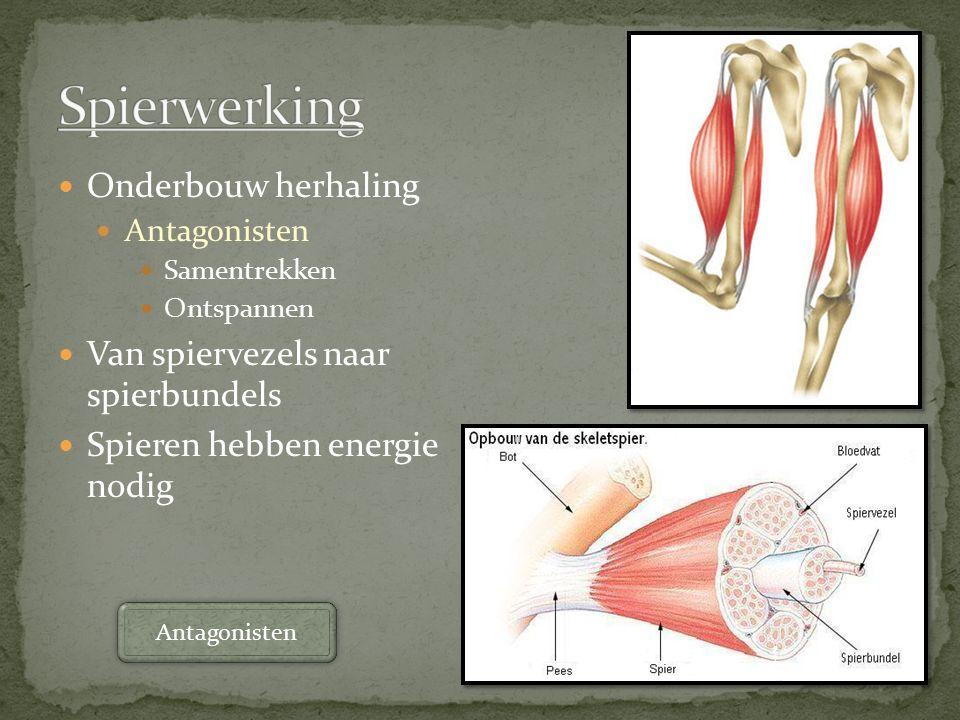 Onderbouw herhaling Antagonisten Samentrekken Ontspannen Van spiervezels naar spierbundels Spieren hebben energie nodig Antagonisten