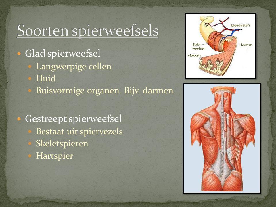 Glad spierweefsel Langwerpige cellen Huid Buisvormige organen. Bijv. darmen Gestreept spierweefsel Bestaat uit spiervezels Skeletspieren Hartspier