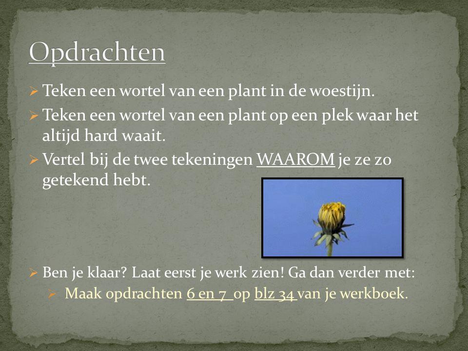  Teken een wortel van een plant in de woestijn.  Teken een wortel van een plant op een plek waar het altijd hard waait.  Vertel bij de twee tekenin