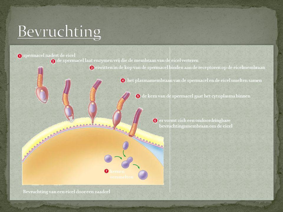 Bevruchting van een eicel door een zaadcel spermacel nadert de eicel de spermacel laat enzymen vrij die de membraan van de eicel verteren eiwitten in