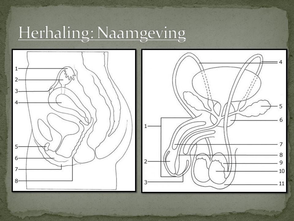Embryo in de baarmoeder (schematisch)
