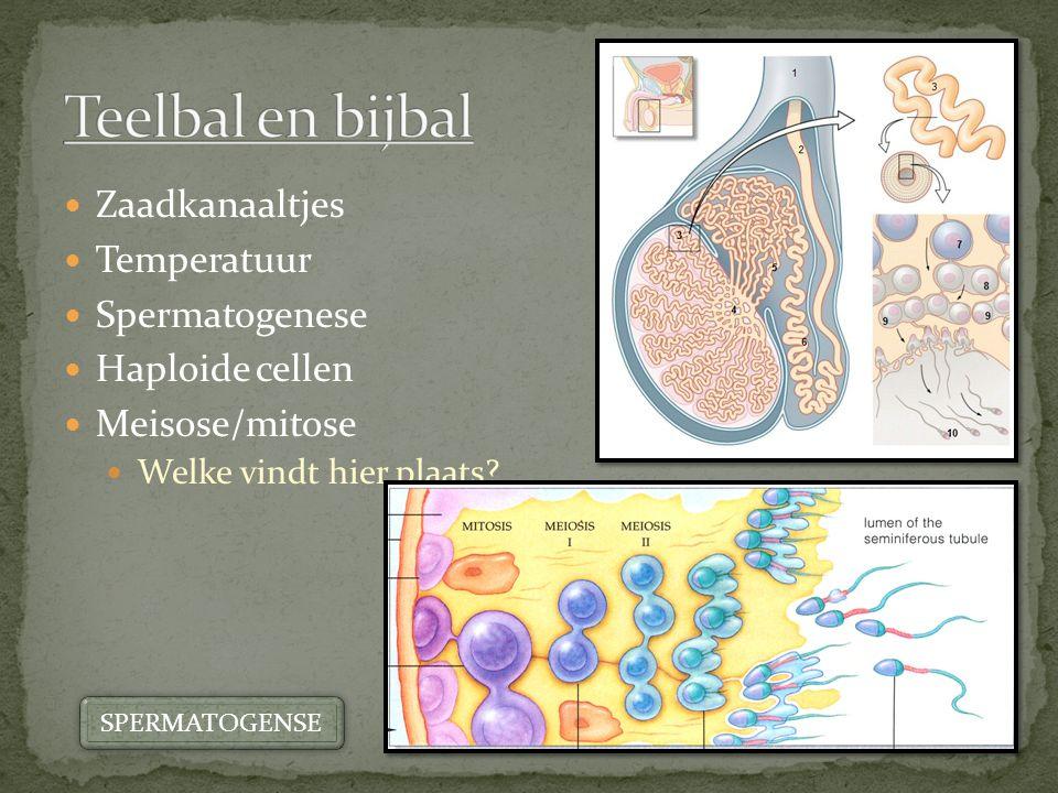 Zaadkanaaltjes Temperatuur Spermatogenese Haploide cellen Meisose/mitose Welke vindt hier plaats? SPERMATOGENSE