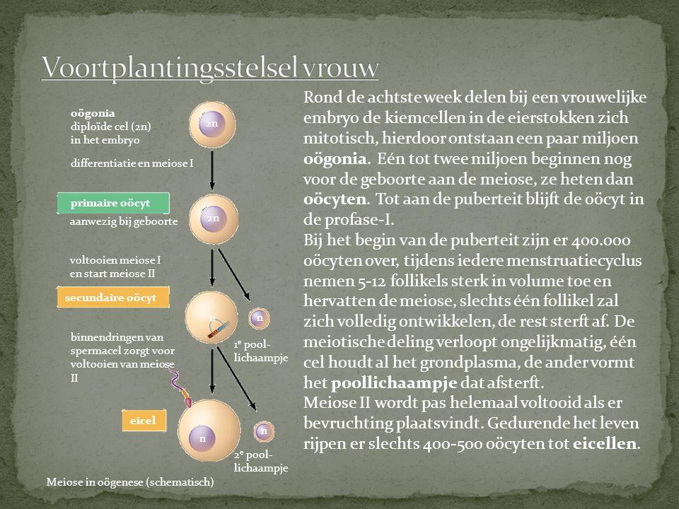 Rond de achtste week delen bij een vrouwelijke embryo de kiemcellen in de eierstokken zich mitotisch, hierdoor ontstaan een paar miljoen oögonia.