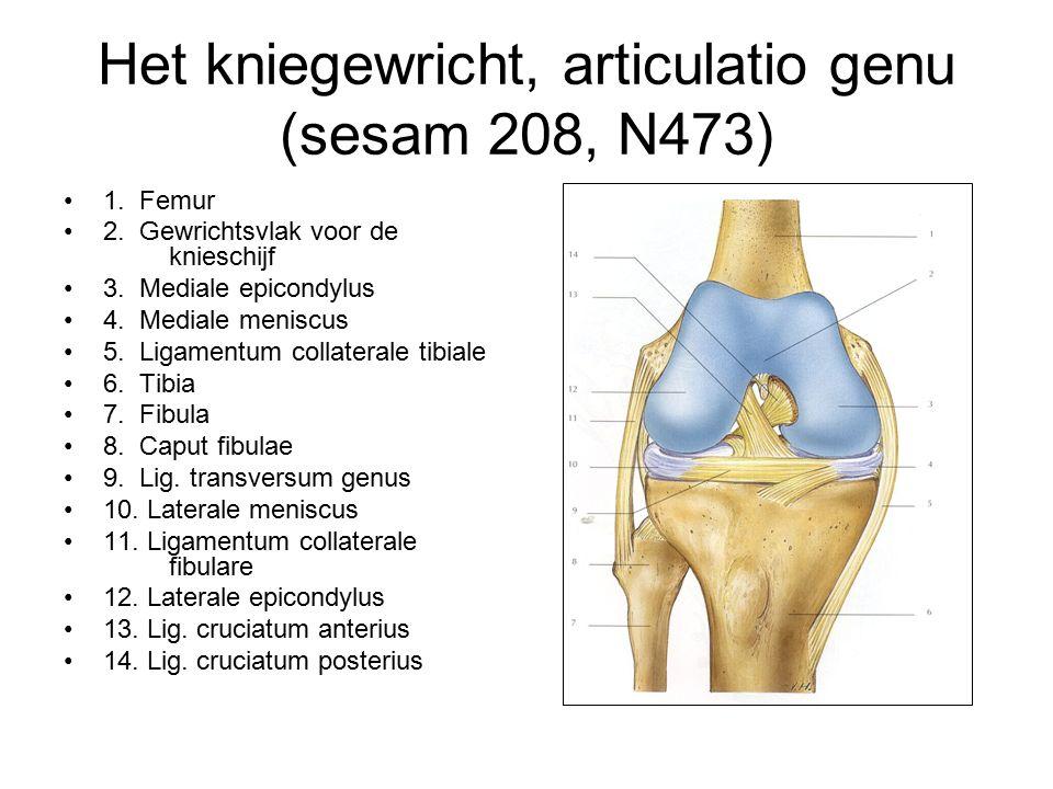 Het kniegewricht, articulatio genu (sesam 208, N473) 1. Femur 2. Gewrichtsvlak voor de knieschijf 3. Mediale epicondylus 4. Mediale meniscus 5. Ligame