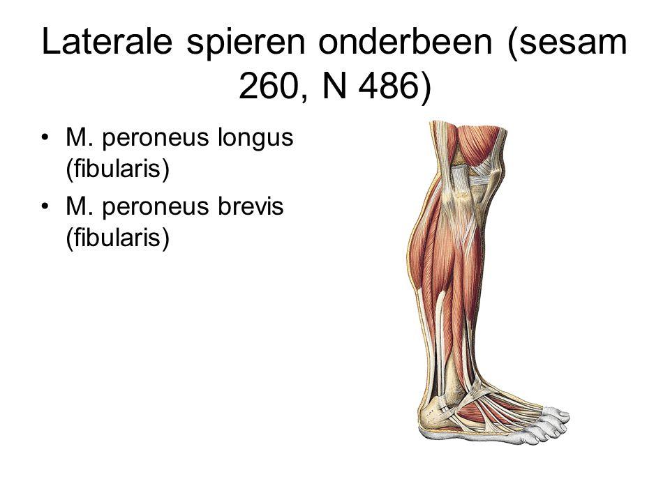 Laterale spieren onderbeen (sesam 260, N 486) M. peroneus longus (fibularis) M. peroneus brevis (fibularis)