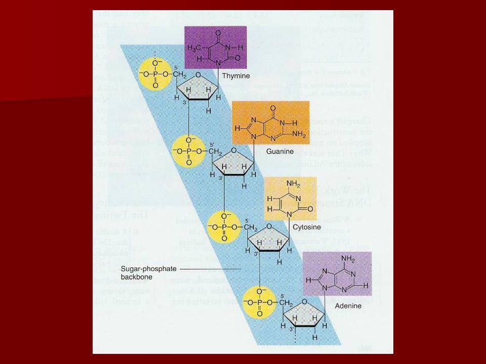 G C DNA : 2 strengen DNA bestaat uit 2 strengen die aan elkaar hangen: DNA bestaat uit 2 strengen die aan elkaar hangen: –In omgekeerd zin (5'  3' en 3'  5') = antiparallel –Met waterstofbruggen tussen de basen  2 combinaties: –C met G (3 H-bruggen) –A met T (2 H-buggen) T A complementariteitsregels