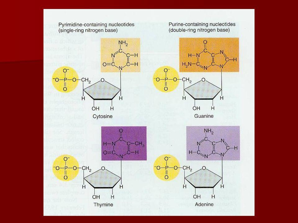 DNA : bouwstenen OPGELET ! nucleotidenucleoside