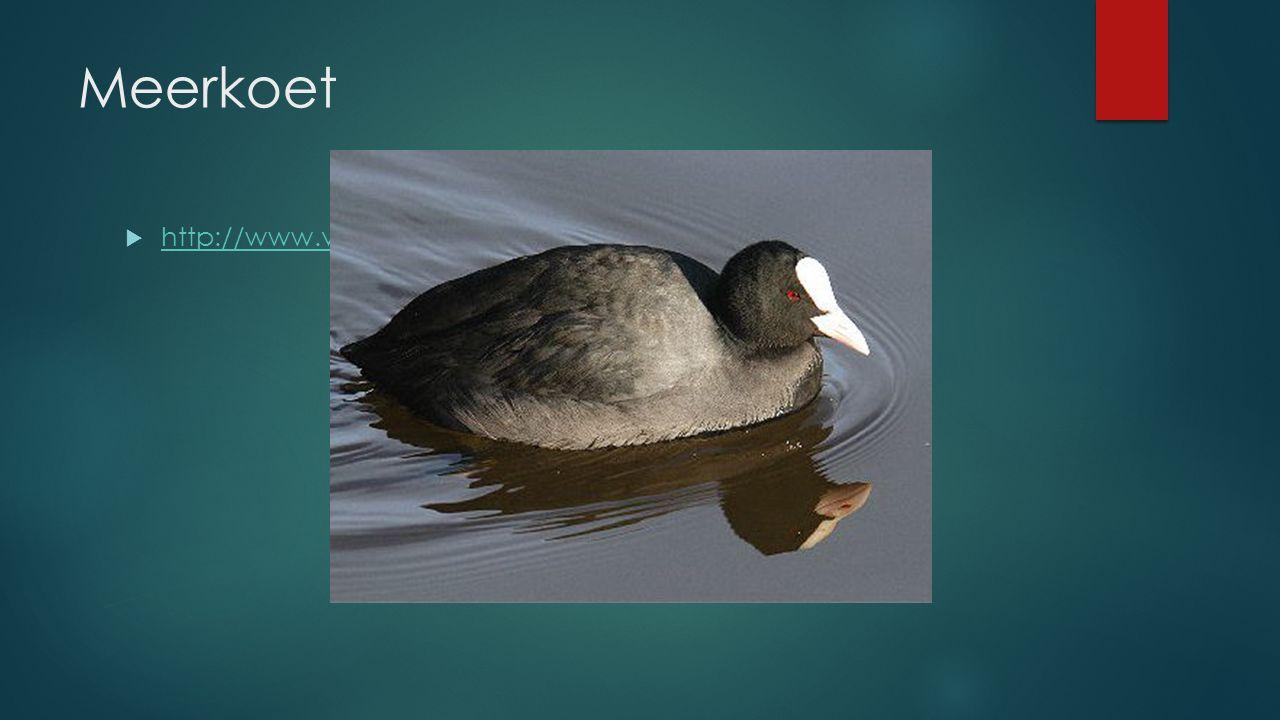 Meerkoet  http://www.vogelgeluid.nl/meerkoet http://www.vogelgeluid.nl/meerkoet