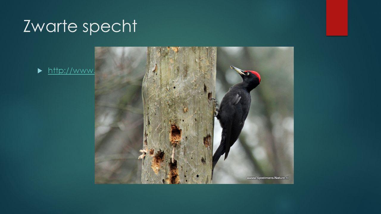 Zwarte specht  http://www.vogelgeluid.nl/zwarte-specht http://www.vogelgeluid.nl/zwarte-specht