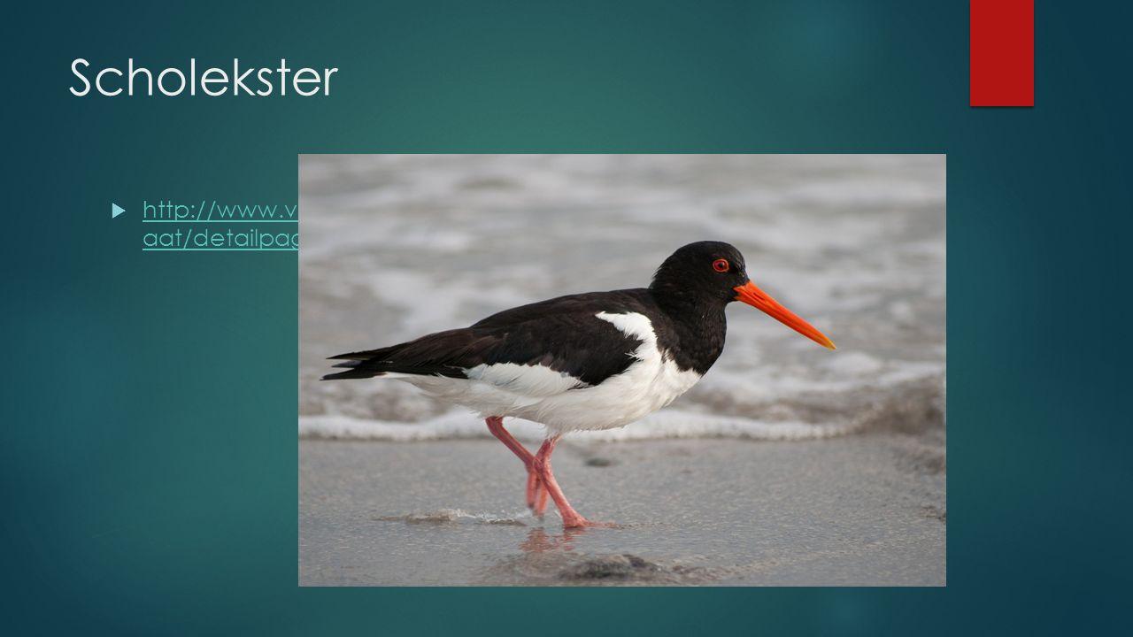 Scholekster  http://www.vogelbescherming.nl/vogels_kijken/vogelgids/zoekresult aat/detailpagina/q/vogel/196 http://www.vogelbescherming.nl/vogels_kij