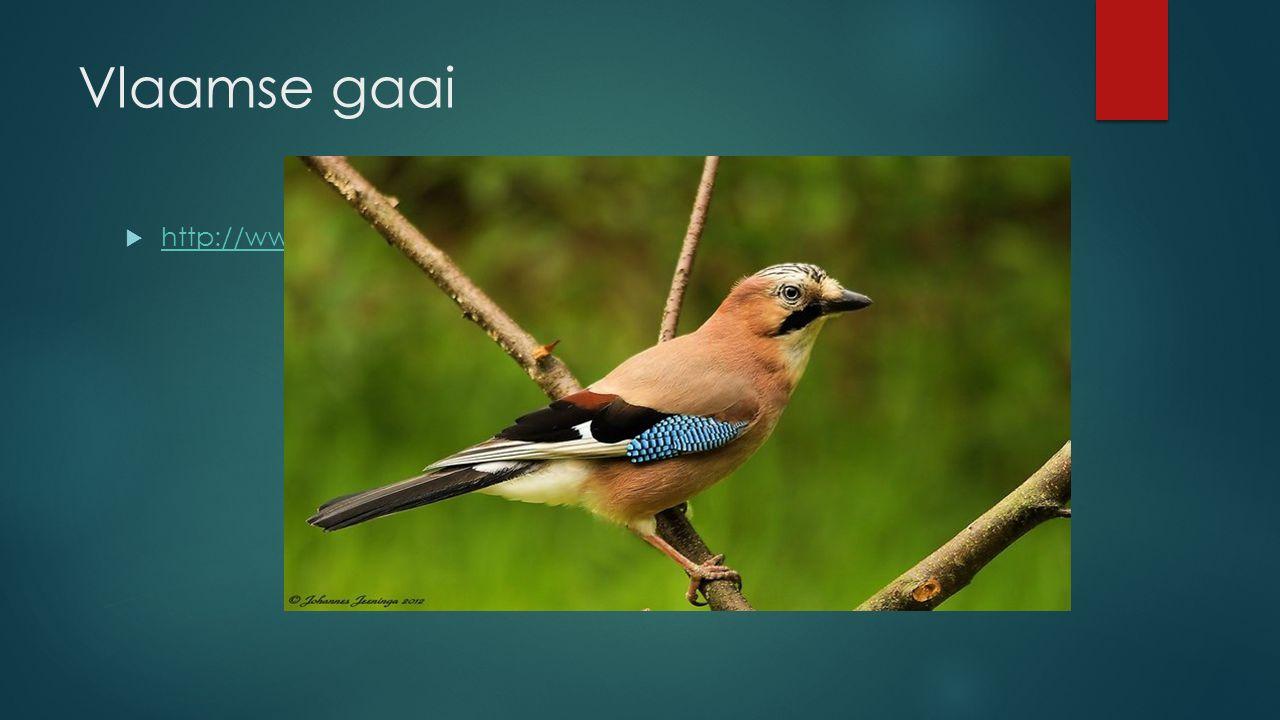 Vlaamse gaai  http://www.vogelgeluid.nl/gaai http://www.vogelgeluid.nl/gaai