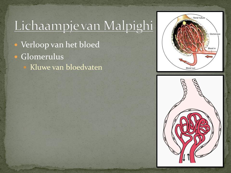 Verloop van het bloed Glomerulus Kluwe van bloedvaten