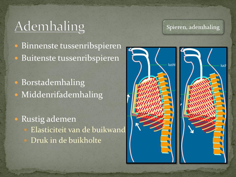 Binnenste tussenribspieren Buitenste tussenribspieren Borstademhaling Middenrifademhaling Rustig ademen Elasticiteit van de buikwand Druk in de buikholte Spieren, ademhaling