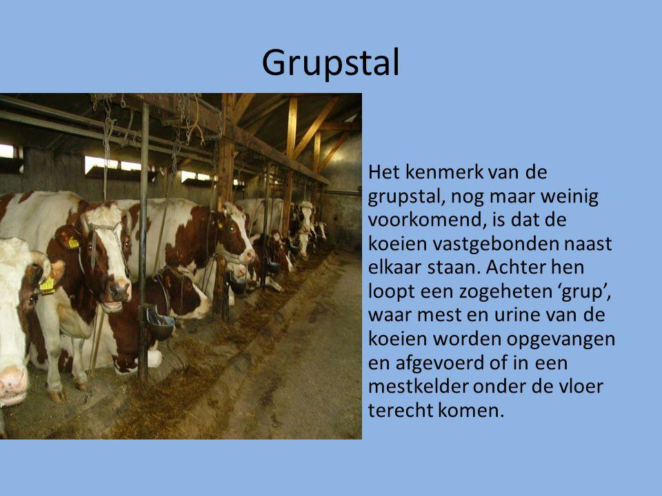 Grupstal Het kenmerk van de grupstal, nog maar weinig voorkomend, is dat de koeien vastgebonden naast elkaar staan. Achter hen loopt een zogeheten 'gr