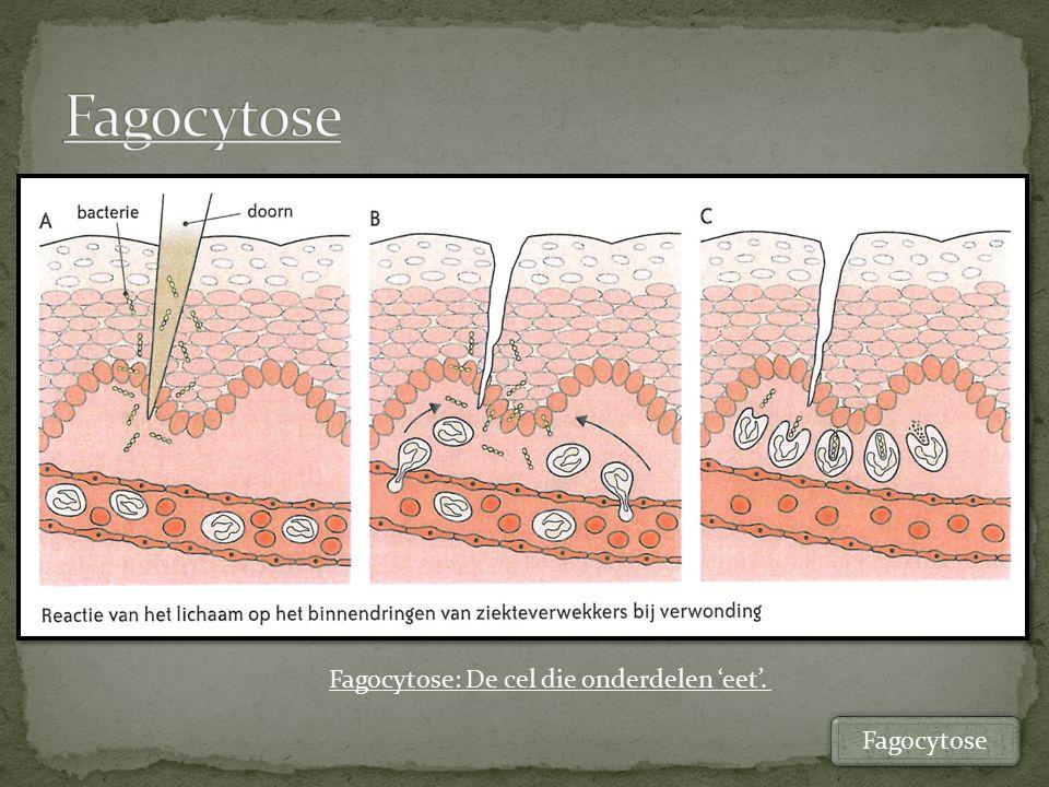 Capillairwand Leukocyt Bacteriën Fagocytose = opnemen door insluiting Leukocyten via diapedese met behulp van fagocytose opruimen bacteriën Diapedese Fagocytose