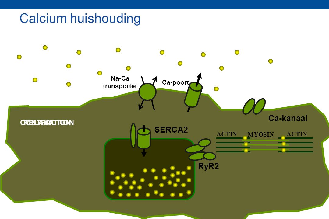 RyR2 SERCA2 ACTIN MYOSIN Ca-poort Na-Ca transporter Ca-kanaal CONTRACTIONRELAXATION Calcium huishouding