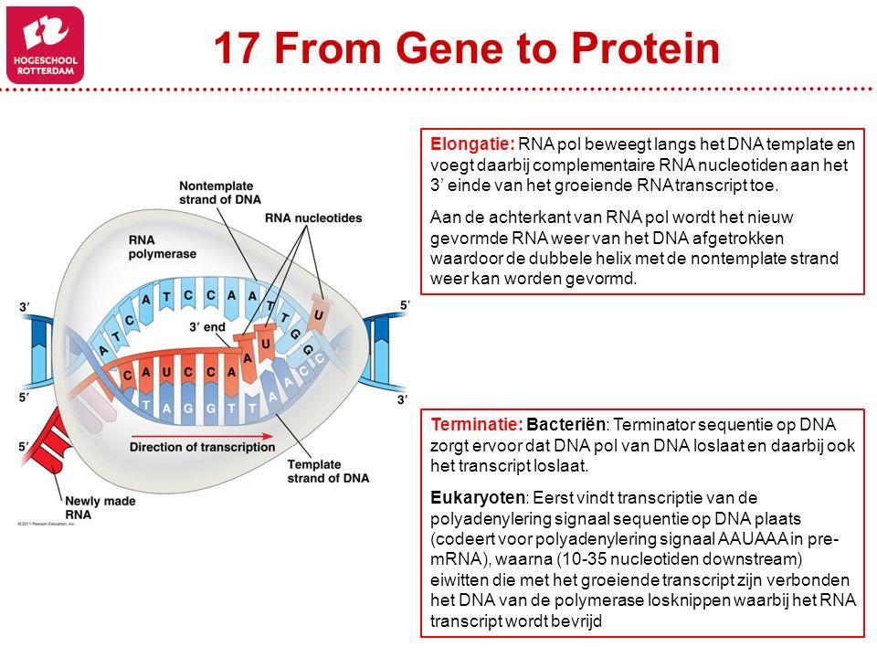 17 From Gene to Protein Elongatie: RNA pol beweegt langs het DNA template en voegt daarbij complementaire RNA nucleotiden aan het 3' einde van het gro