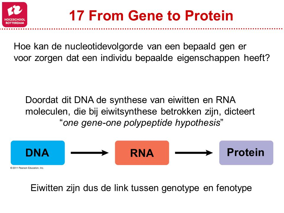 17 From Gene to Protein Hoe kan de nucleotidevolgorde van een bepaald gen er voor zorgen dat een individu bepaalde eigenschappen heeft? DNA RNA Protei