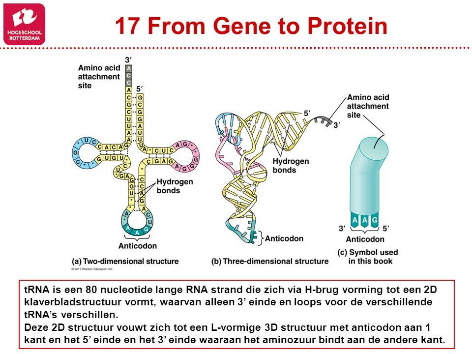 17 From Gene to Protein tRNA is een 80 nucleotide lange RNA strand die zich via H-brug vorming tot een 2D klaverbladstructuur vormt, waarvan alleen 3' einde en loops voor de verschillende tRNA's verschillen.