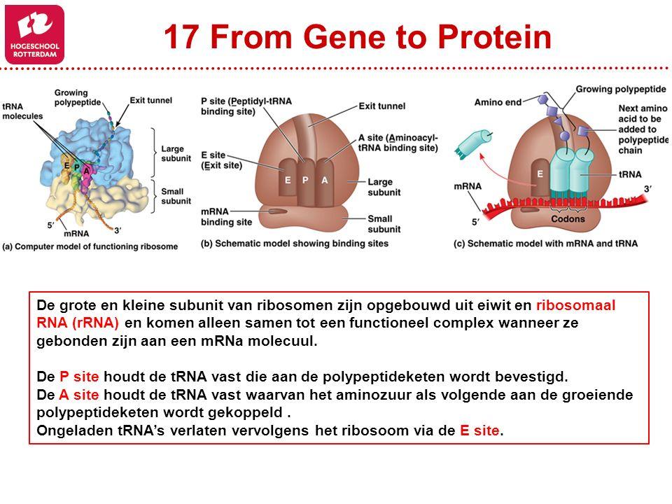 17 From Gene to Protein De grote en kleine subunit van ribosomen zijn opgebouwd uit eiwit en ribosomaal RNA (rRNA) en komen alleen samen tot een functioneel complex wanneer ze gebonden zijn aan een mRNa molecuul.
