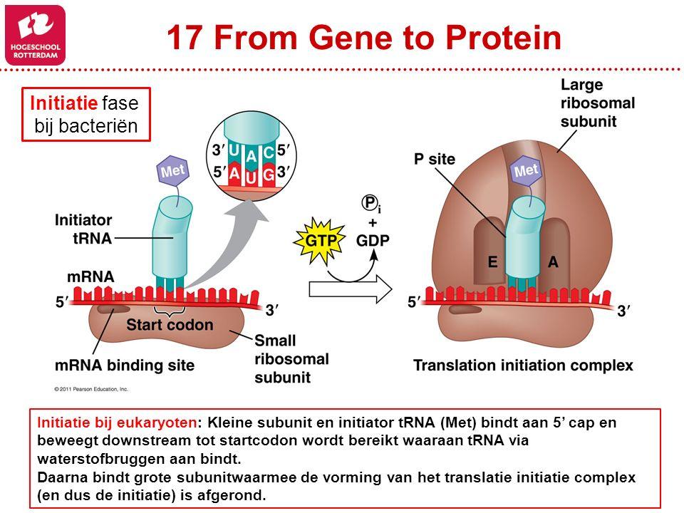 17 From Gene to Protein Initiatie bij eukaryoten: Kleine subunit en initiator tRNA (Met) bindt aan 5' cap en beweegt downstream tot startcodon wordt bereikt waaraan tRNA via waterstofbruggen aan bindt.