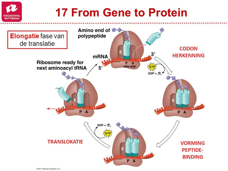 17 From Gene to Protein CODON HERKENNING VORMING PEPTIDE- BINDING TRANSLOKATIE Elongatie fase van de translatie