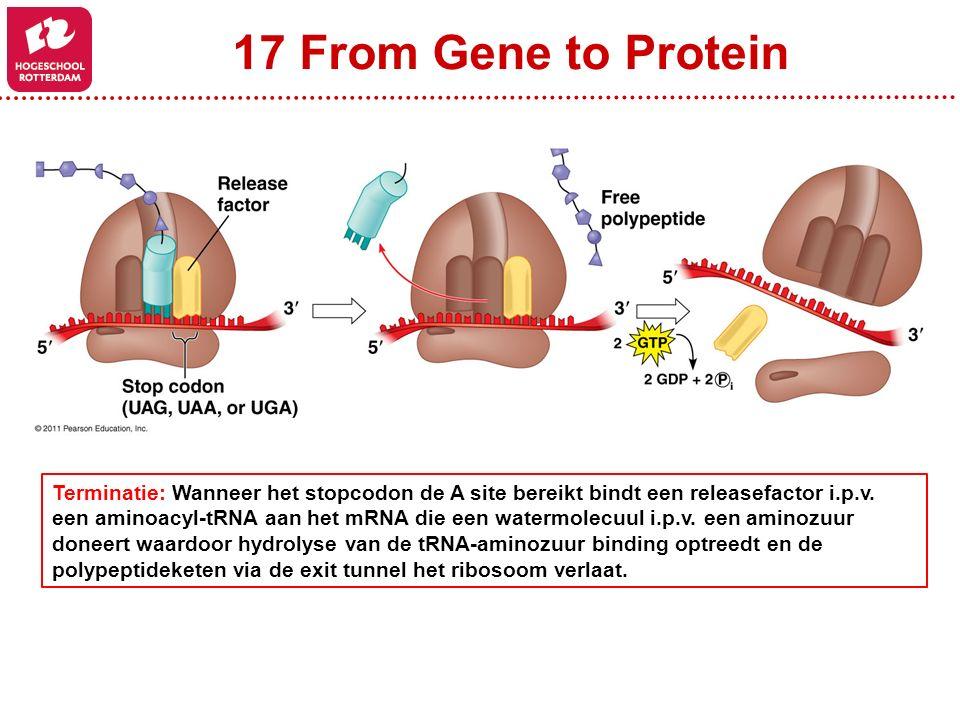 17 From Gene to Protein Terminatie: Wanneer het stopcodon de A site bereikt bindt een releasefactor i.p.v. een aminoacyl-tRNA aan het mRNA die een wat