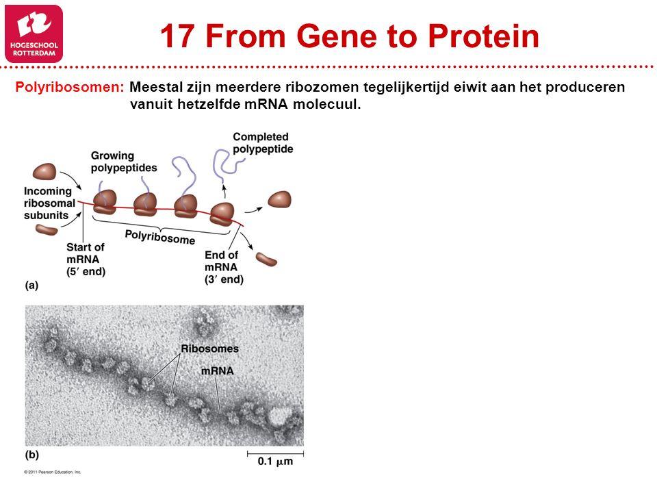 17 From Gene to Protein Polyribosomen: Meestal zijn meerdere ribozomen tegelijkertijd eiwit aan het produceren vanuit hetzelfde mRNA molecuul.
