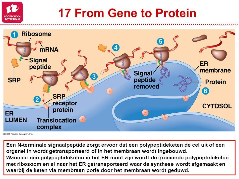 17 From Gene to Protein Een N-terminale signaalpeptide zorgt ervoor dat een polypeptideketen de cel uit of een organel in wordt getransporteerd of in het membraan wordt ingebouwd.