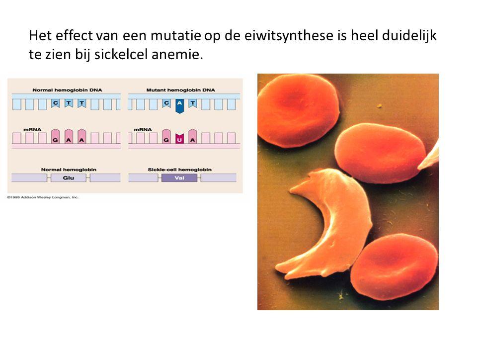 Het effect van een mutatie op de eiwitsynthese is heel duidelijk te zien bij sickelcel anemie.
