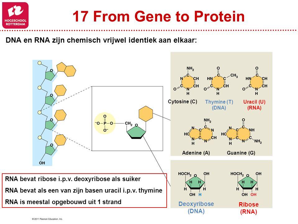 17 From Gene to Protein Deoxyribose (DNA) Ribose (RNA) Cytosine (C) Thymine (T) (DNA) Uracil (U) (RNA) Adenine (A)Guanine (G) RNA bevat ribose i.p.v.