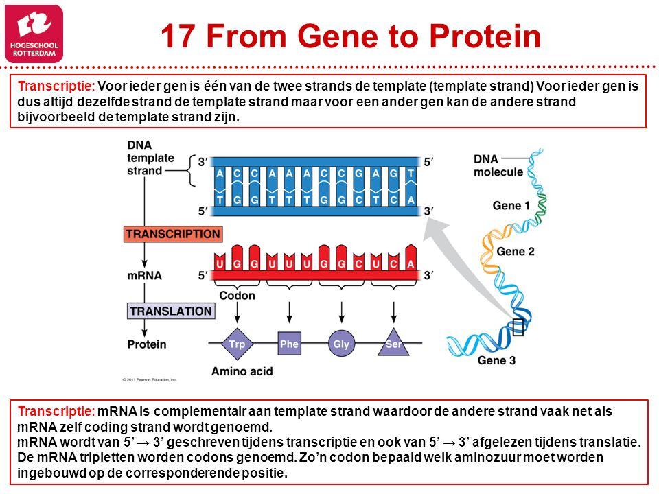 17 From Gene to Protein Transcriptie: Voor ieder gen is één van de twee strands de template (template strand) Voor ieder gen is dus altijd dezelfde st