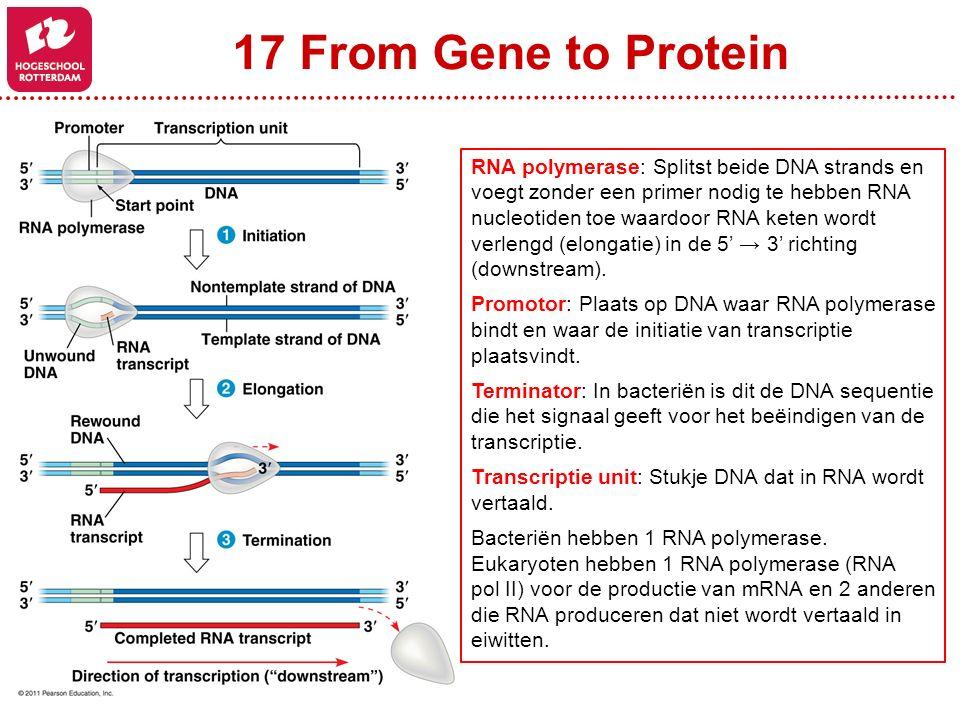 17 From Gene to Protein RNA polymerase: Splitst beide DNA strands en voegt zonder een primer nodig te hebben RNA nucleotiden toe waardoor RNA keten wordt verlengd (elongatie) in de 5' → 3' richting (downstream).