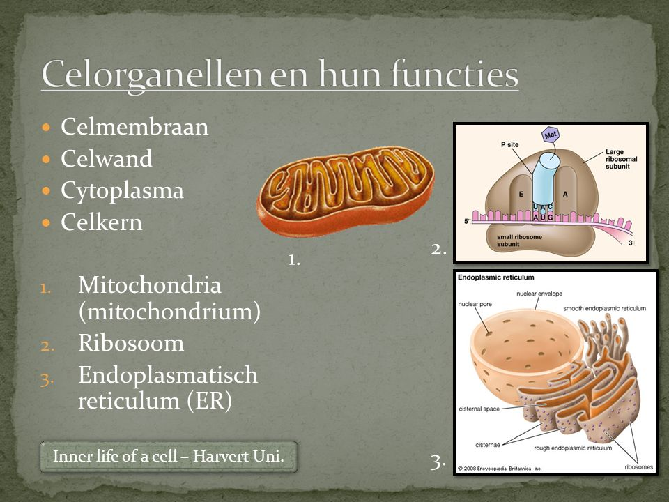 Celmembraan Celwand Cytoplasma Celkern 1. Mitochondria (mitochondrium) 2. Ribosoom 3. Endoplasmatisch reticulum (ER) 1. 2. 3. Inner life of a cell – H