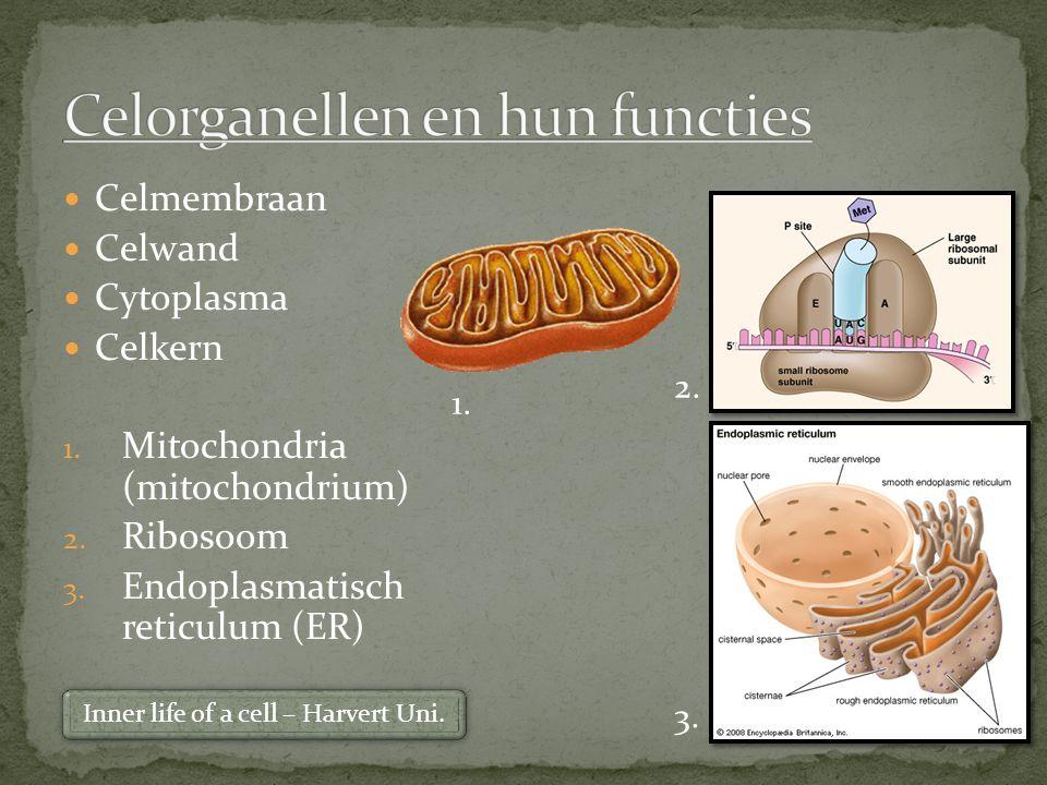 Nucleus (celkern) Nucleolus Chromosomen Nucleaire porien Kernmembraan Kernplasma Celmembraan Fosfolipide 2x Eiwitten Transporteiwitten Koolhydraatketens Dierlijke cel