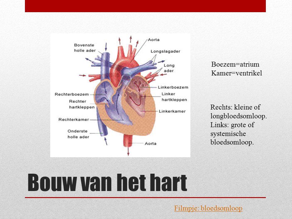 Bouw van het hart Boezem=atrium Kamer=ventrikel Rechts: kleine of longbloedsomloop. Links: grote of systemische bloedsomloop. Filmpje: bloedsomloop