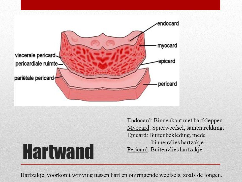 Hartwand Endocard: Binnenkant met hartkleppen. Myocard: Spierweefsel, samentrekking. Epicard: Buitenbekleding, mede binnenvlies hartzakje. Pericard: B