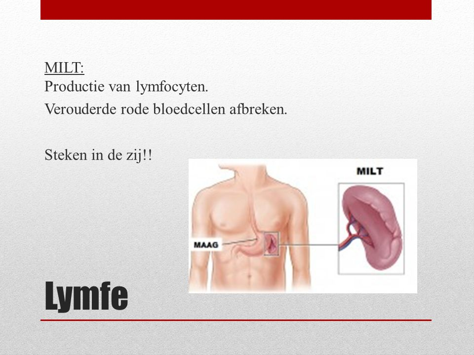 Lymfe MILT: Productie van lymfocyten. Verouderde rode bloedcellen afbreken. Steken in de zij!!