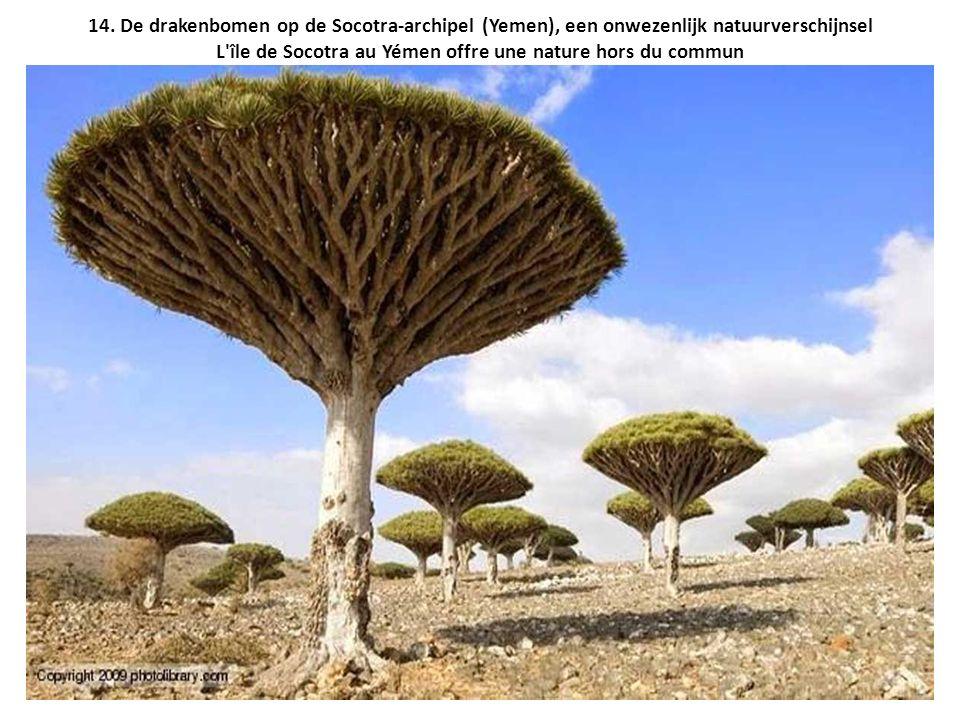 14. De drakenbomen op de Socotra-archipel (Yemen), een onwezenlijk natuurverschijnsel L'île de Socotra au Yémen offre une nature hors du commun