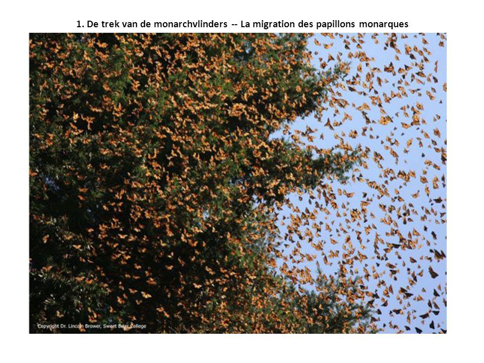 1. De trek van de monarchvlinders -- La migration des papillons monarques
