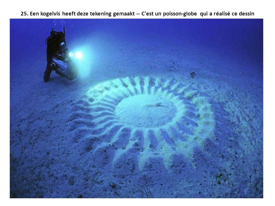 25. Een kogelvis heeft deze tekening gemaakt -- C'est un poisson-globe qui a réalisé ce dessin