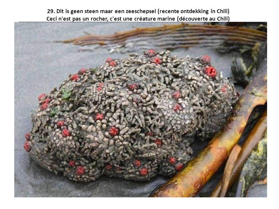 29. Dit is geen steen maar een zeeschepsel (recente ontdekking in Chili) Ceci n'est pas un rocher, c'est une créature marine (découverte au Chili)