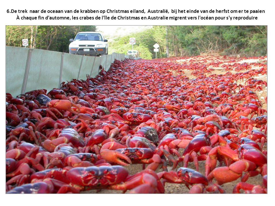 6.De trek naar de oceaan van de krabben op Christmas eiland, Australië, bij het einde van de herfst om er te paaien À chaque fin d'automne, les crabes