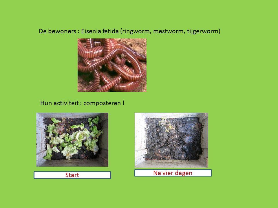 De bewoners : Eisenia fetida (ringworm, mestworm, tijgerworm) Hun activiteit : composteren ! Start Na vier dagen