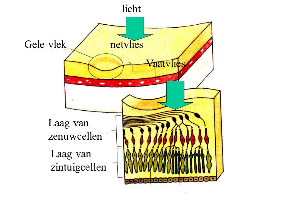 Gele vleknetvlies Vaatvlies Laag van zenuwcellen Laag van zintuigcellen licht