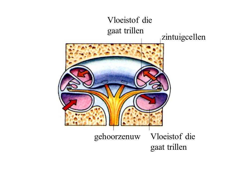 zintuigcellen Vloeistof die gaat trillen gehoorzenuwVloeistof die gaat trillen