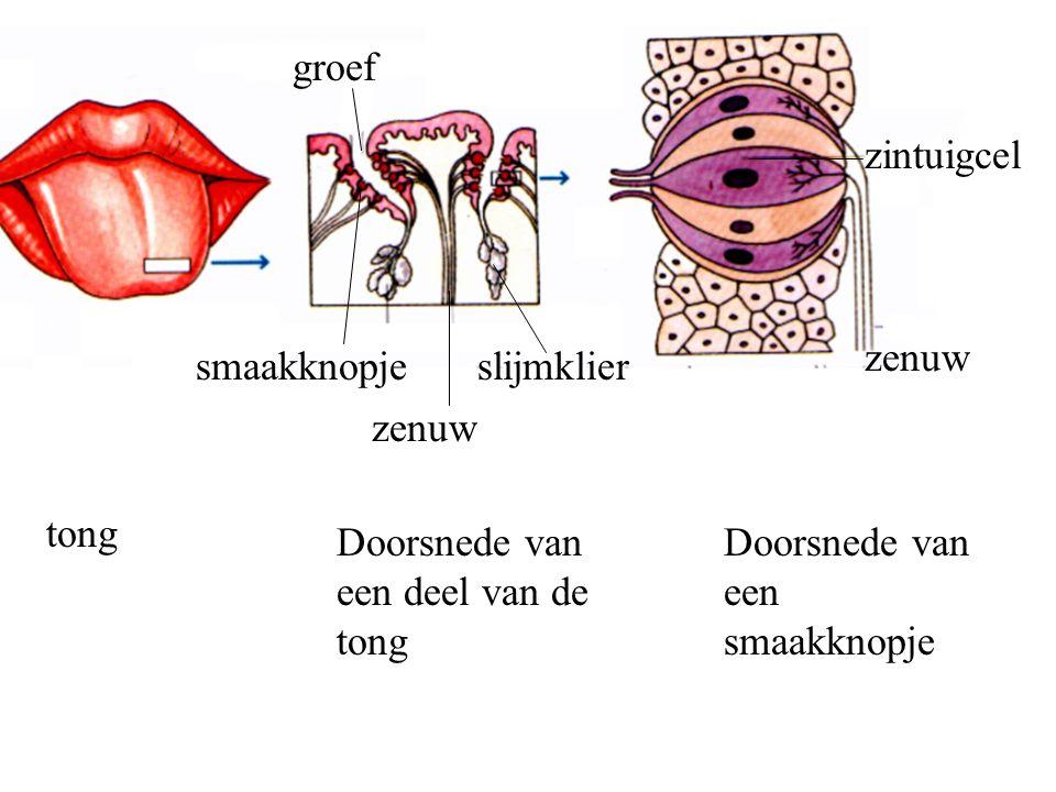 smaakknopje groef slijmklier zenuw zintuigcel zenuw tong Doorsnede van een deel van de tong Doorsnede van een smaakknopje