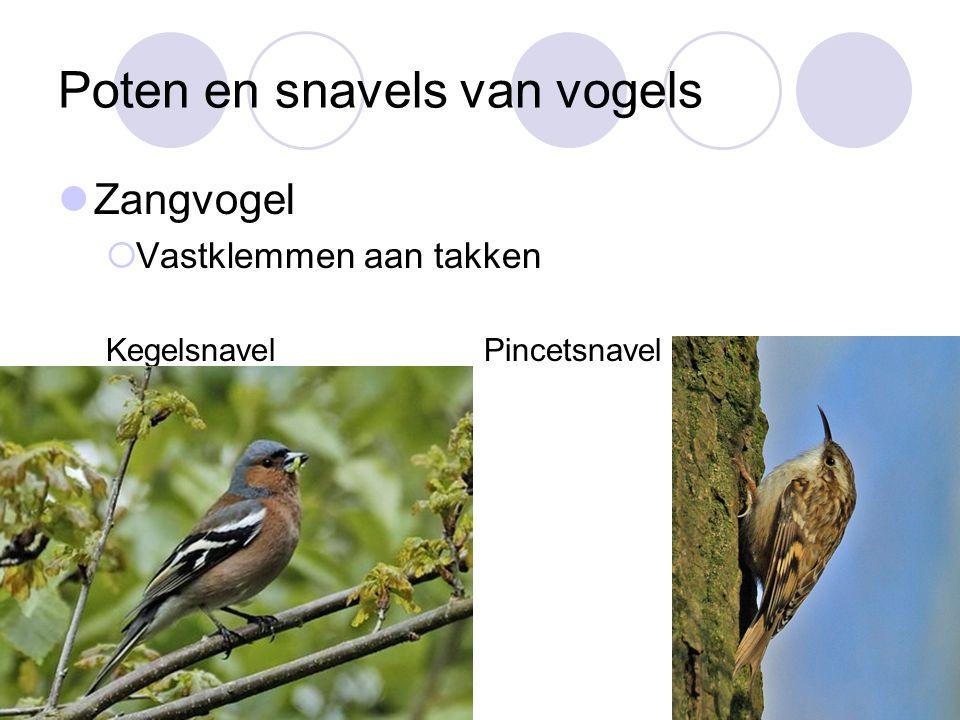 Poten en snavels van vogels Zangvogel  Vastklemmen aan takken Kegelsnavel Pincetsnavel