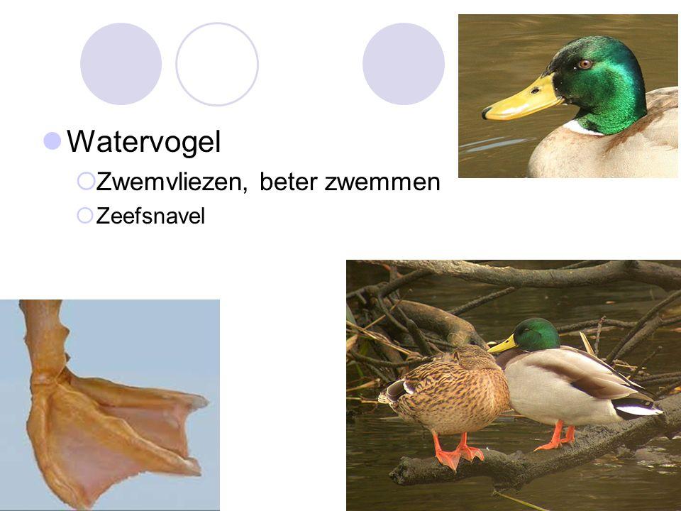 Watervogel  Zwemvliezen, beter zwemmen  Zeefsnavel