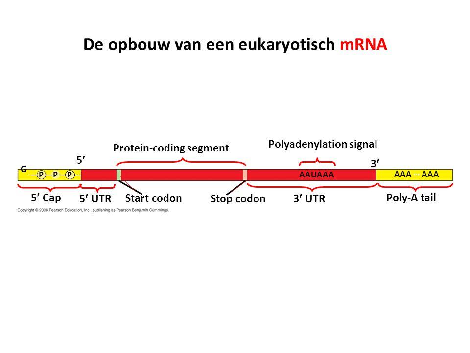 Protein-coding segment Polyadenylation signal 3 3 UTR5 UTR 5 5 Cap Start codon Stop codon Poly-A tail G PPPAAUAAA AAA … De opbouw van een eukaryotisch